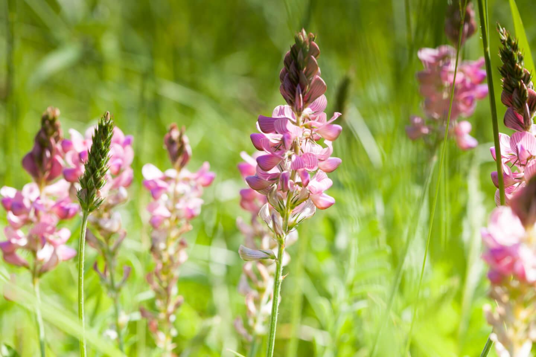 Futter-Esparette im Orchideengebiet Gersheim