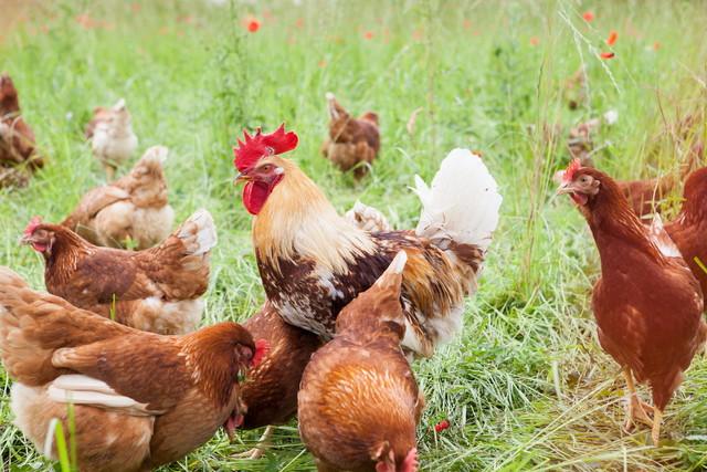 Hühner Eichelberger Hof