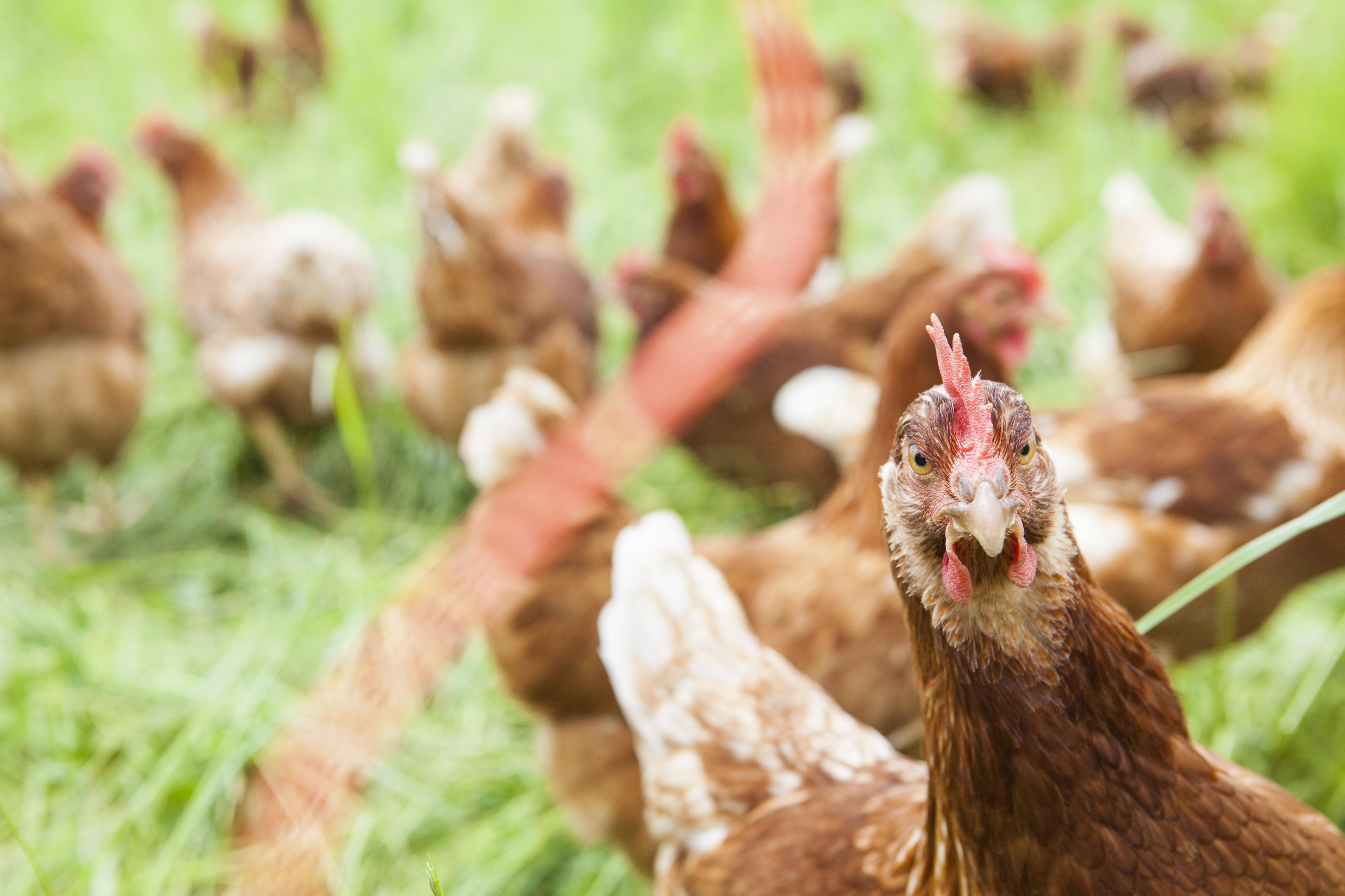 Bio-Hühner auf dem Bauernhof