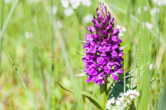 Orchidee im Bliesgau