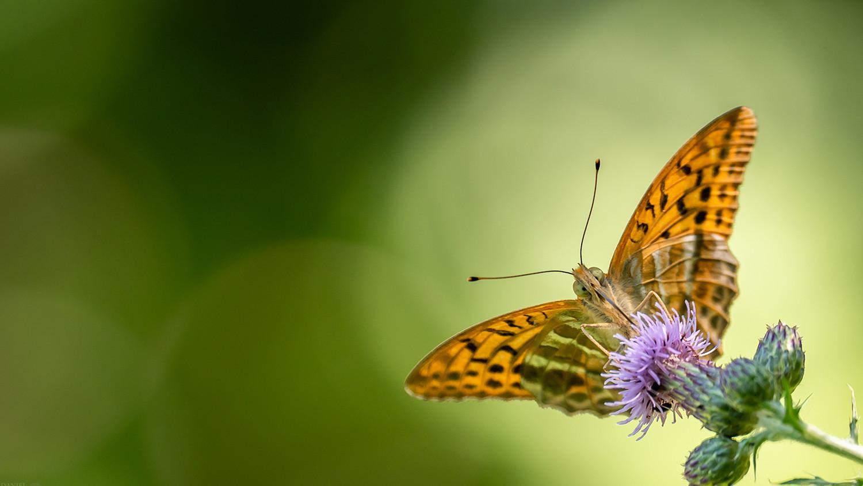 Schmetterling im Bliesgau