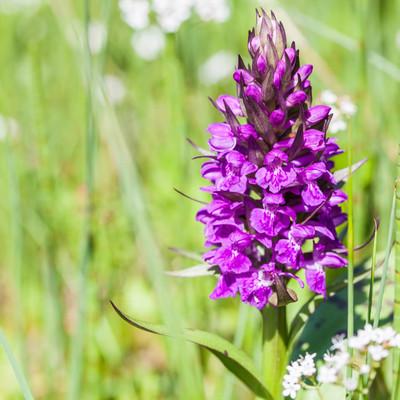 Orchidee, Knabenkraut