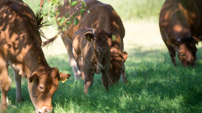 Grasende Kühe im Bliesgau
