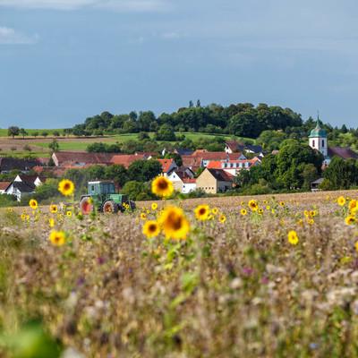 Sonnenblumenfeld bei Medelsheim