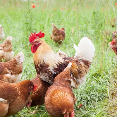 Hühner vom Biolandhof Wack