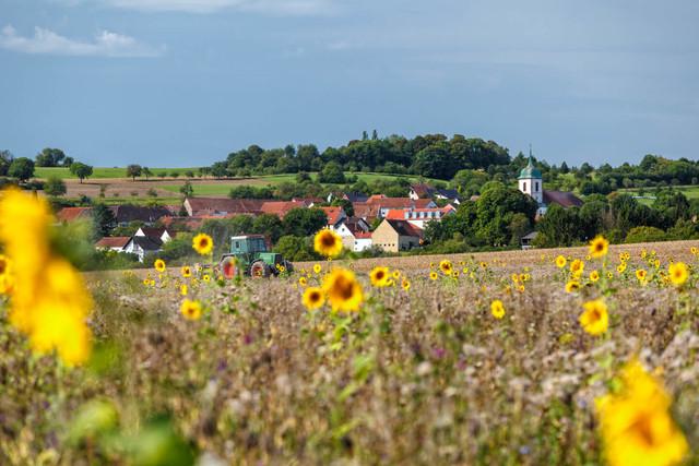 Sonnenblumenfeld im Bliesgau