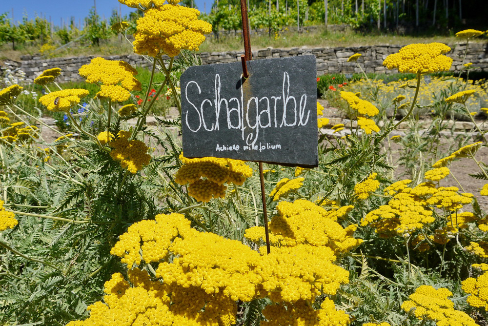 Schafgarbe im Kräutergarten des Haus Lochfelds