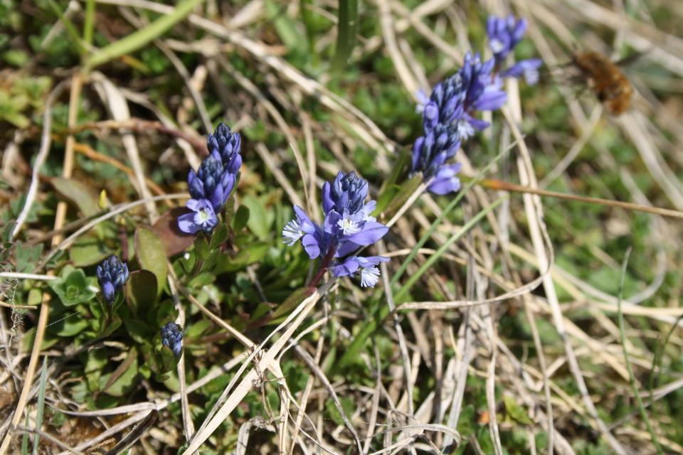 Kalk-Kreuzblümchen | 5 - 20 cm | April - Juni